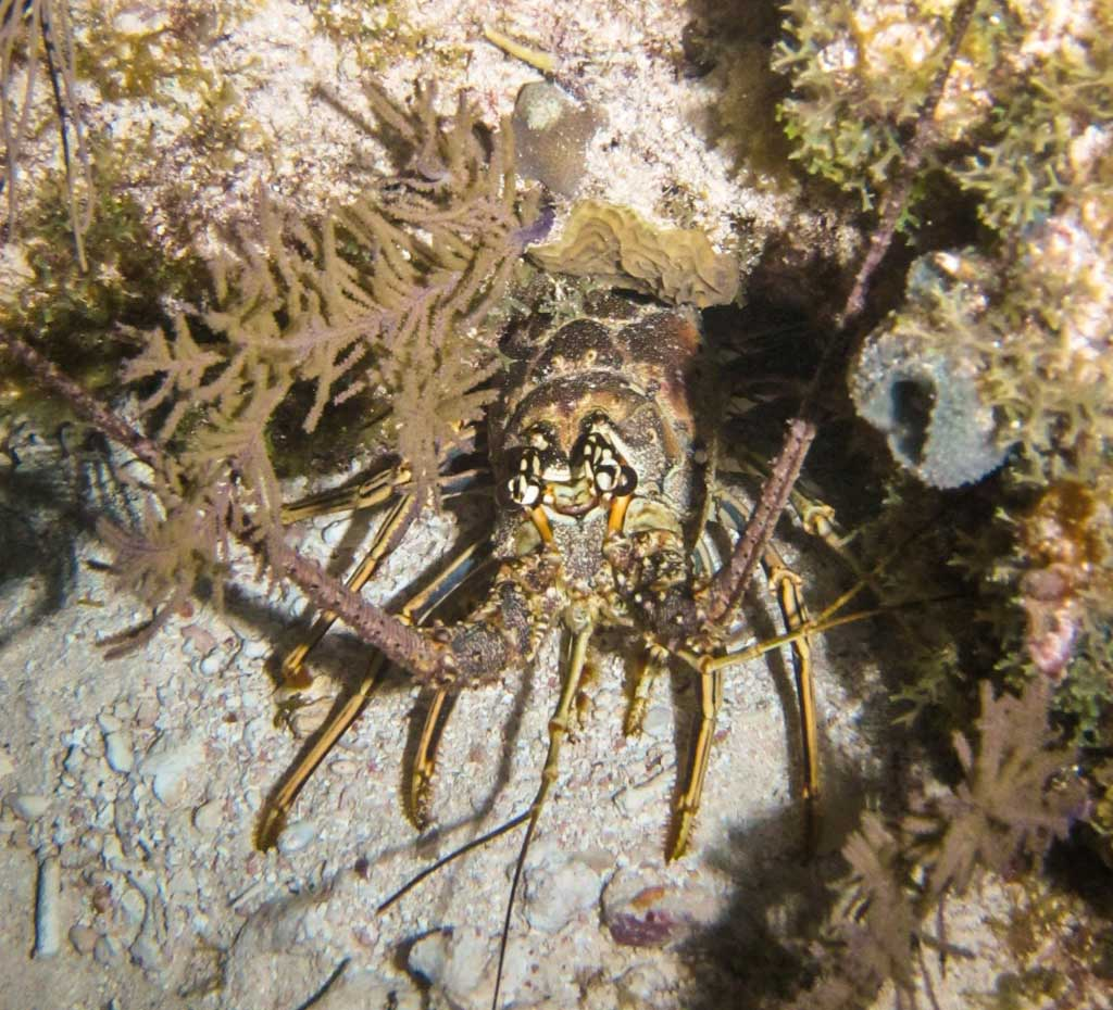 Diving in Key Largo - Spiny lobster