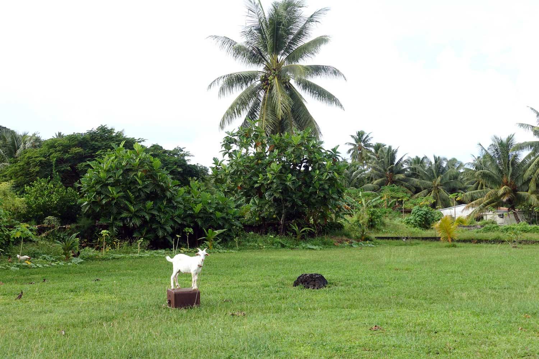 Aitutaki culture goat