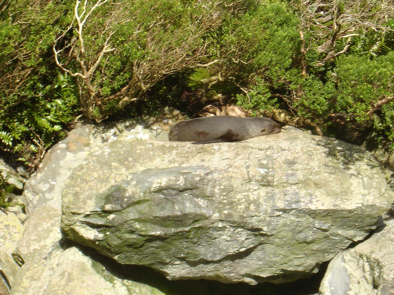 New Zealand Fur Seal laying on a rock